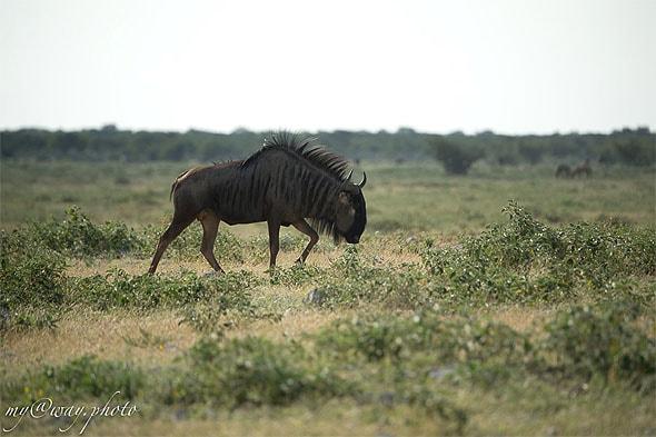 антилопа гну этоша