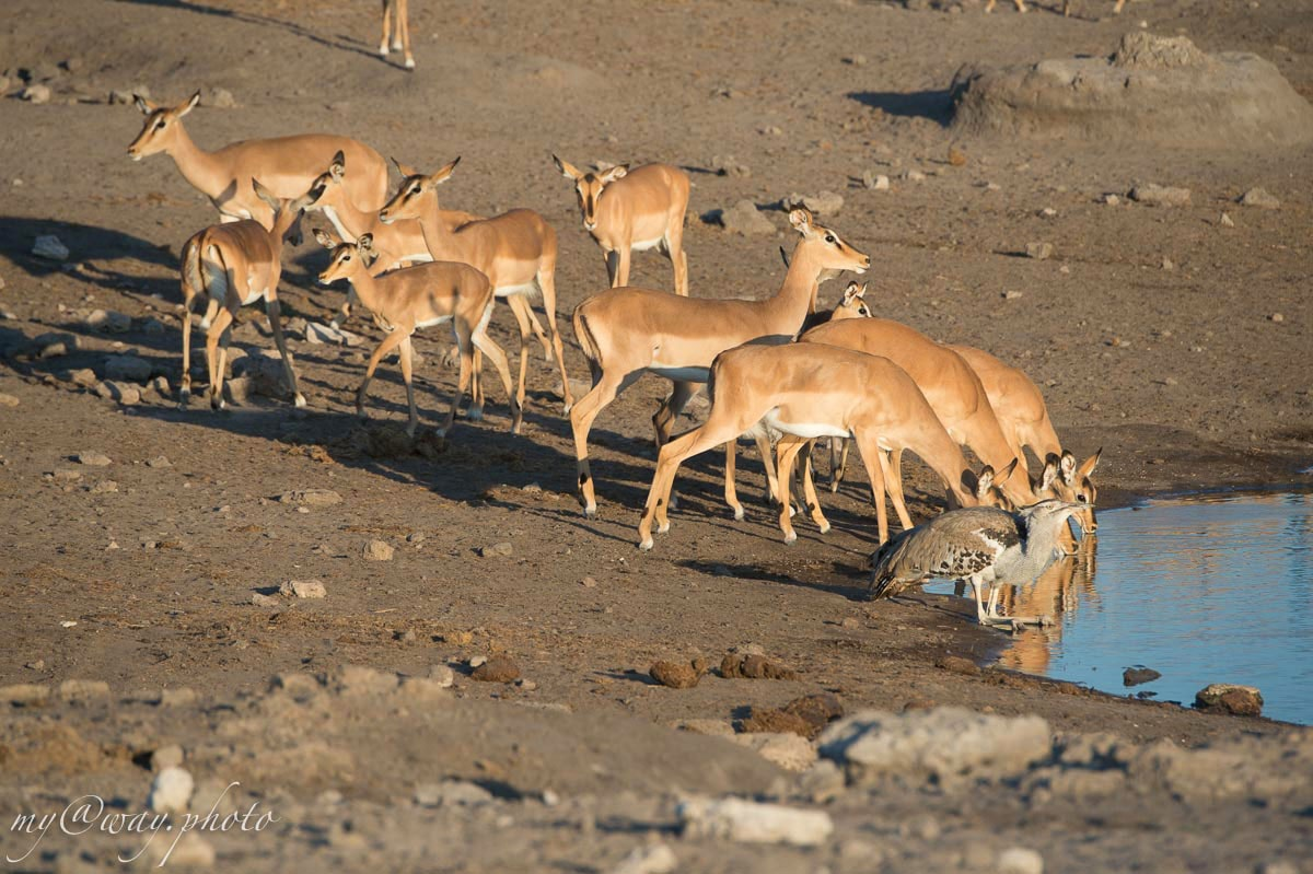 самочки антилопы импала