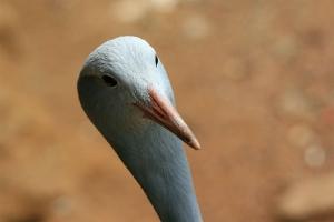 blue crane голубой журавль на грани исчезновения
