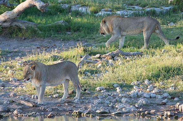 молодые братья львы вместе