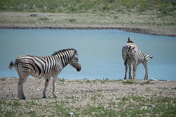 животное бурчеллова зебра
