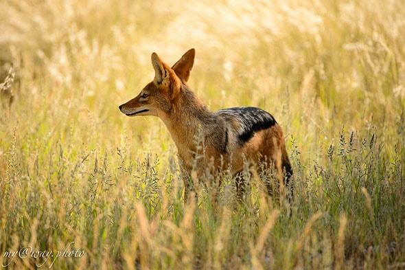 национальный парк этоша чепрачный шакал