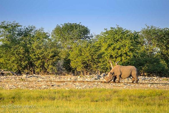 носорог черный или белый