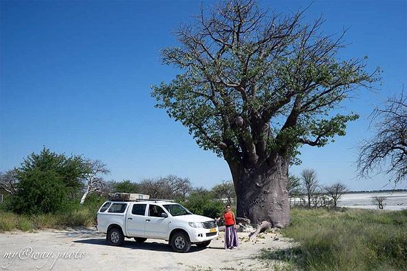 уникальное африканское дерево баобаб