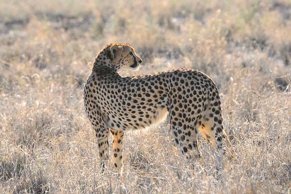 поджарый и длинноногий гепард не имеет жировых отложений