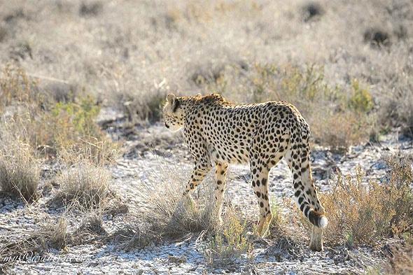 гепард самое быстрое животное