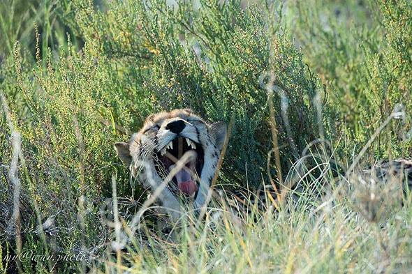 гепард потягивается и зевает