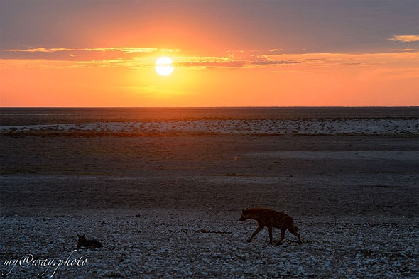 халали гиена в закатных лучах солнца