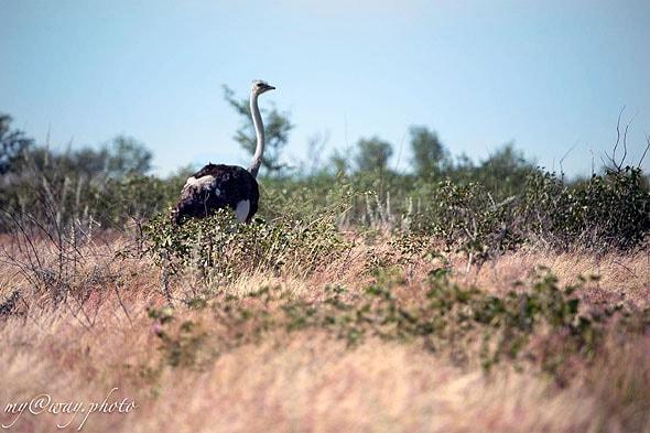 гордый страус в окрестностях лагеря халали