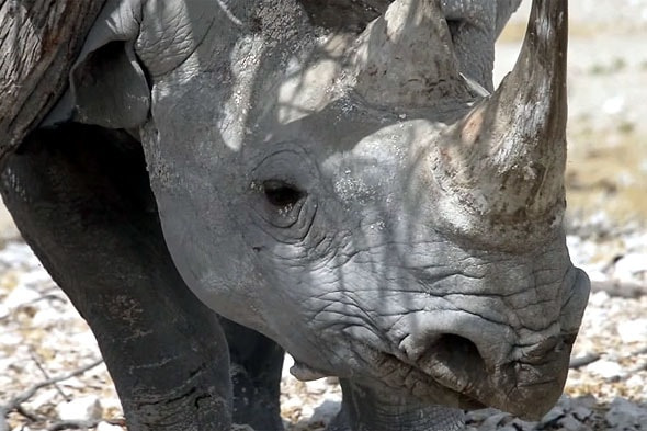 верхняя губа носорога хоботком