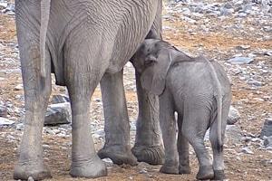 лагерь халали слоненок пьет молоко у слонихи