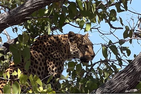 большая африканская пятерка леопард быстрый и первоклассный охотник