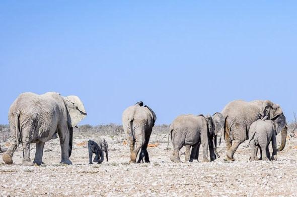 как общаются между собой слоны