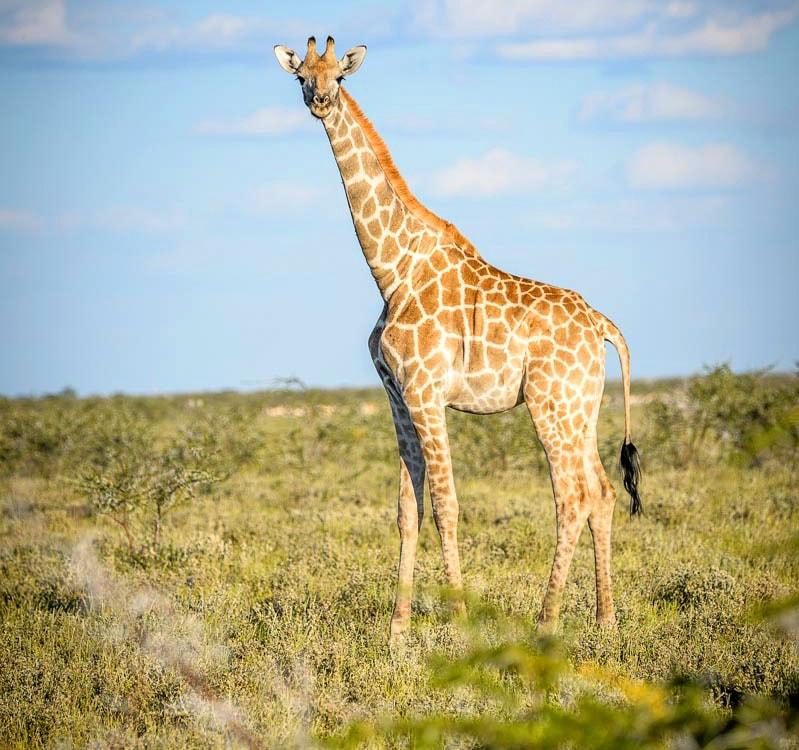 какой длинношеий жираф
