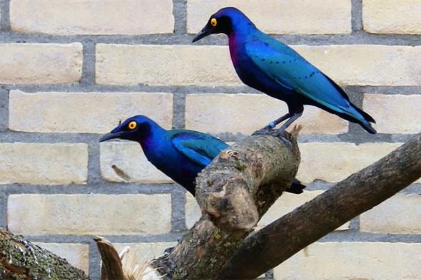эндемик южной африки  пурпурный блестящий скворец