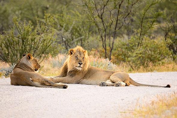 на дороге развалились лев и львица