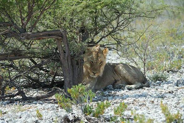 лев лежит косматый рыжий