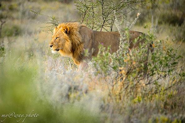 лев встал и направился в кусты