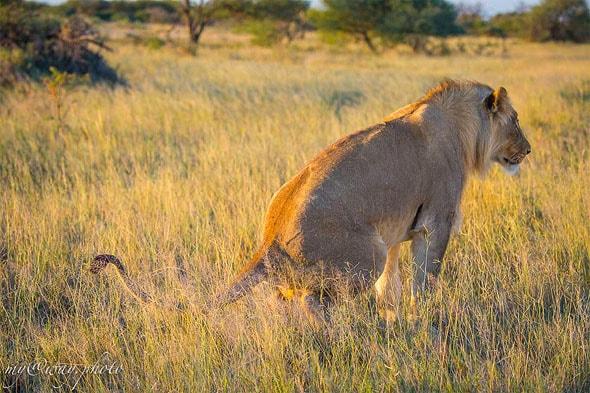лев специально для нас пописал