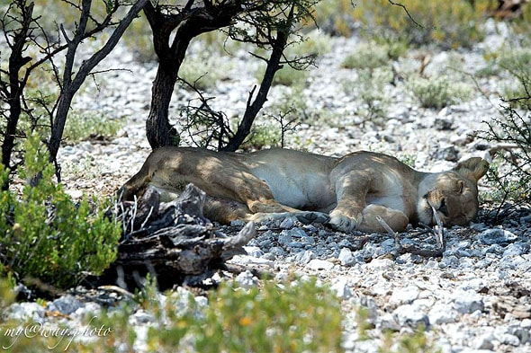 лев спал в тени