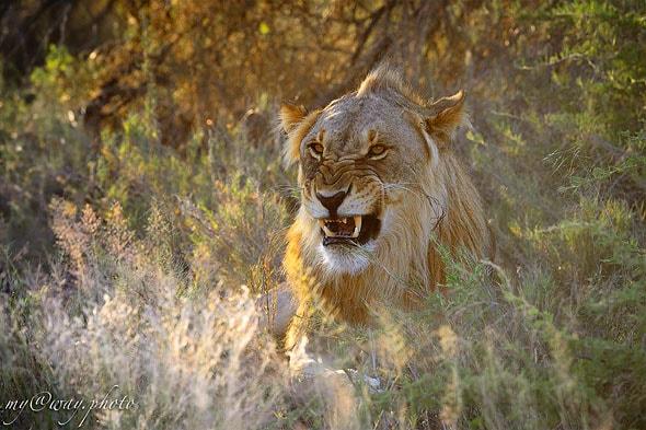 львиная свирепость
