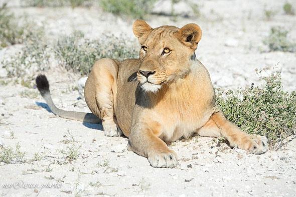 львица с золотыми немигающими глазами