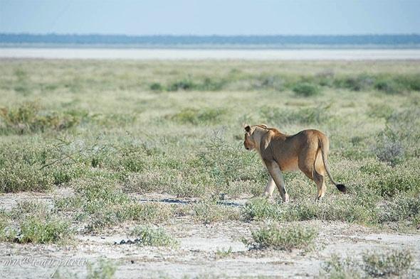 львица идет наискосок в саванну