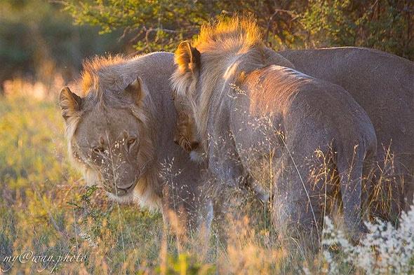 львы проснулись только к вечеру