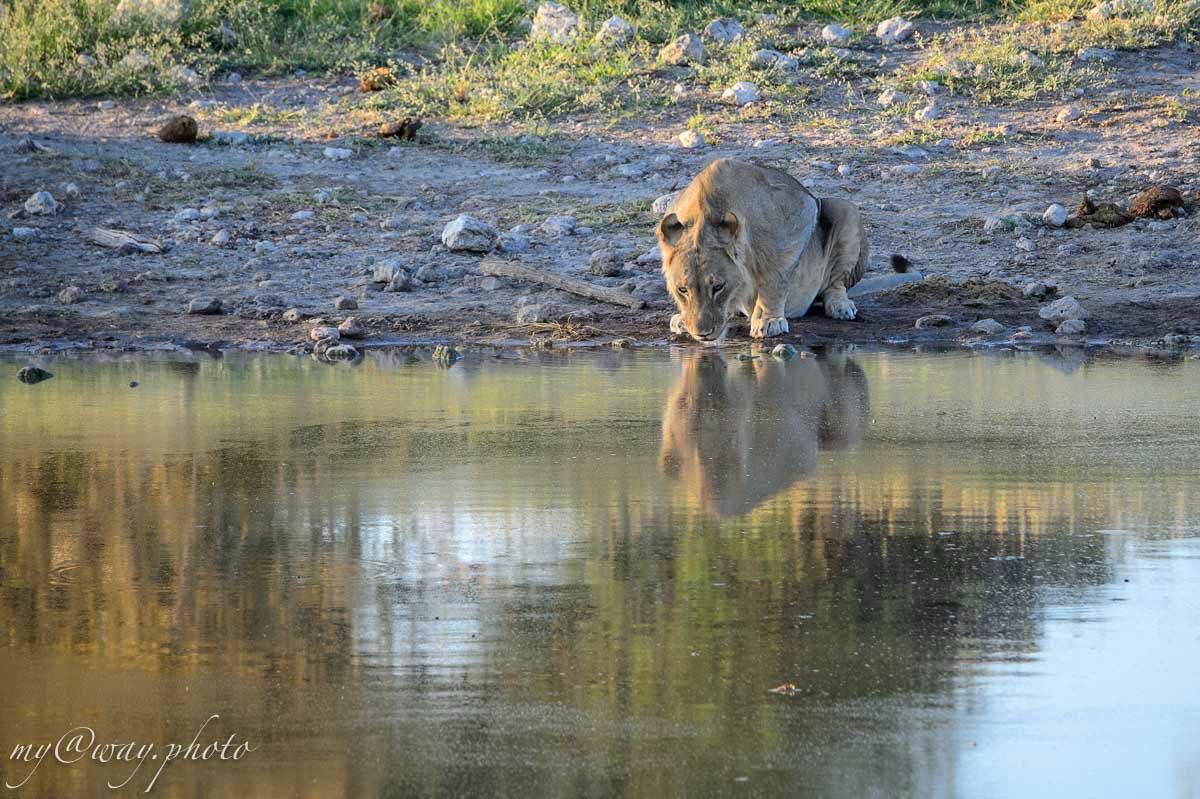 численность львов в парке этоша