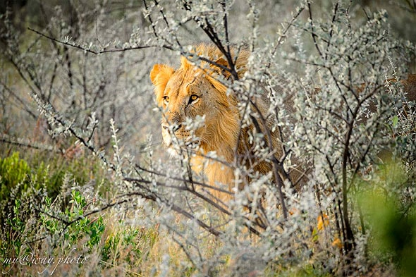 даже молчащий лев это что то