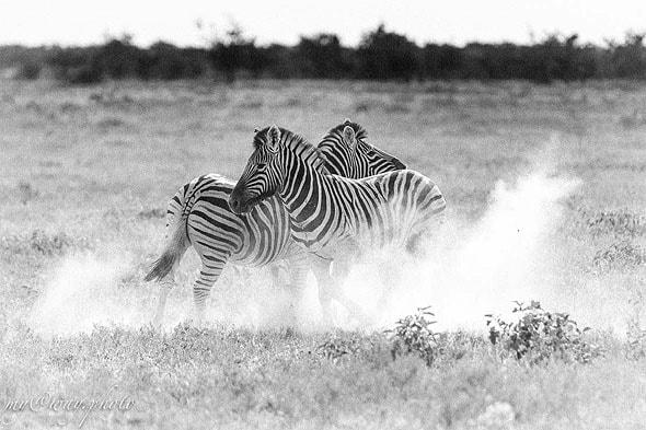 зебра не беззащитна мускулистое тело и копыта