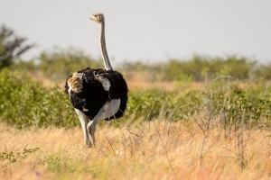 самая большая нелетающая птица страус