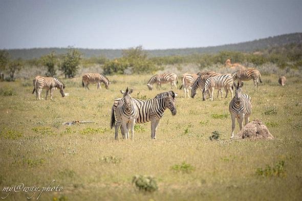 мир зебр непредсказуемых животных
