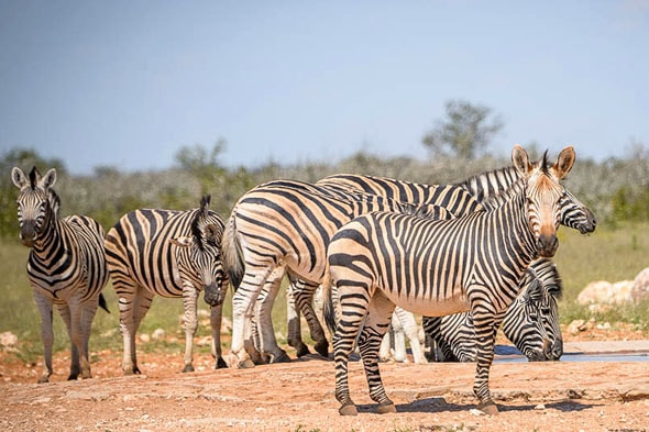 несколько разных зебр из стада
