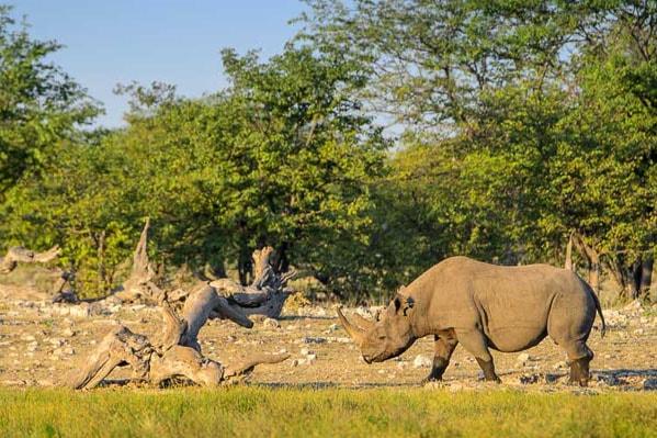 носорог  парке этоша