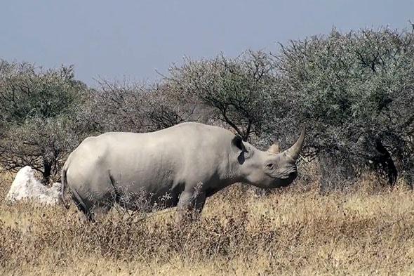 носорог чемпион по толщине кожи