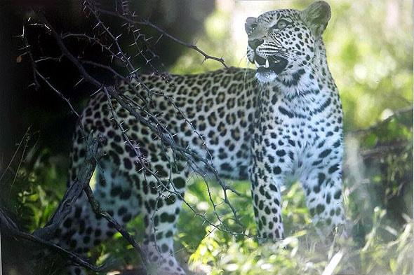 пятна леопарда образуют кольцевые узоры