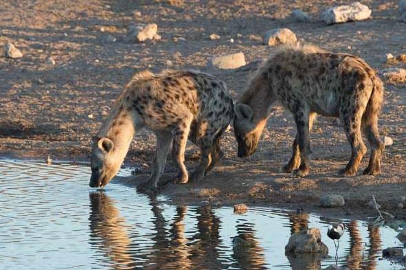 хищники пятнистые гиены
