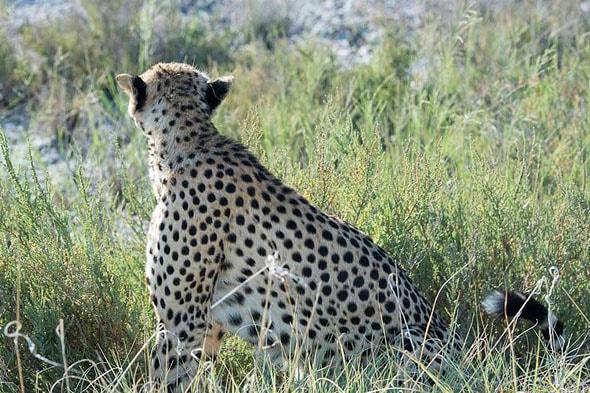 гепард в бесхитростных пятнах