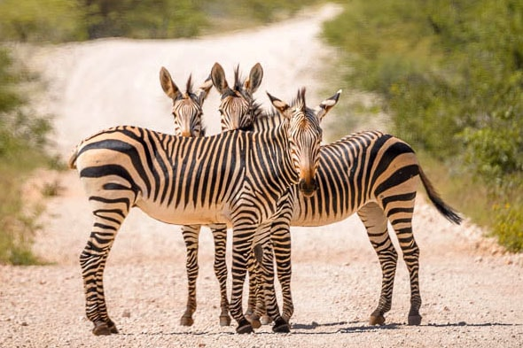 есть только предположения почему зебра полосатая