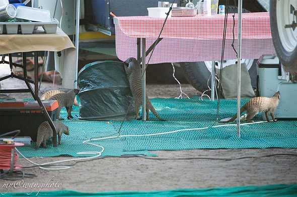 фото полосатых мангуст за неблаговидными делишками
