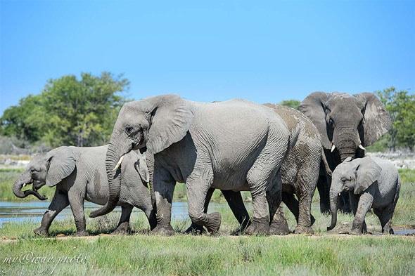 проходят маршем слоны