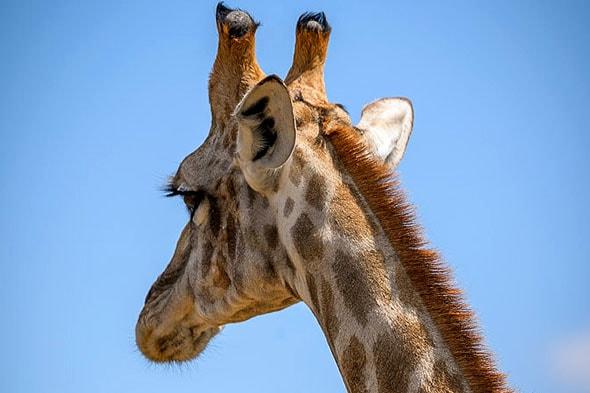 жираф костяные рожки пушистые ресницы