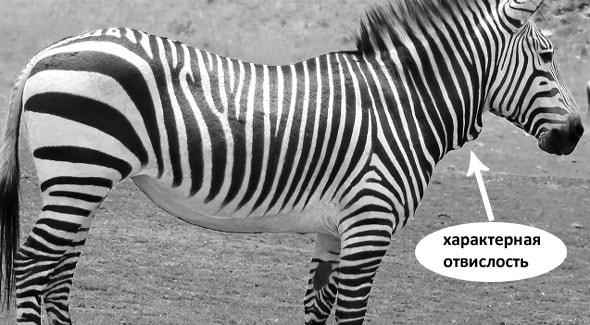 шея равнинных зебр ровная у горных характерная отвислость