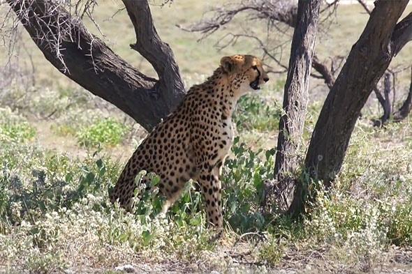 скрытных гепардов отличают  по черным слезным меткам