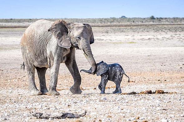 ьаленький слоненок стоит возле матери