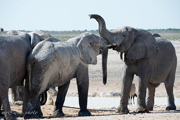 сладкая парочка слоны нежничают