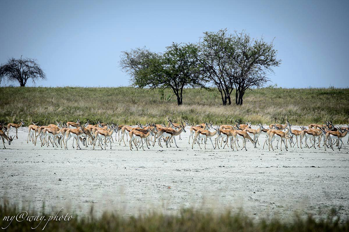 среди бескрайней травы пасутся стада антилоп