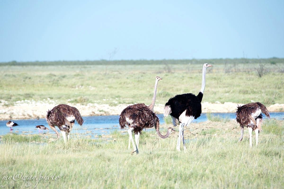 огромное количество страусов разгуливает по парку