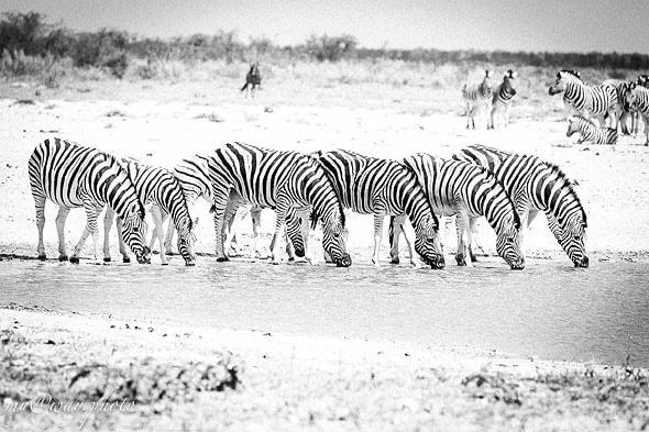 табунчик зебр полосатые спинки